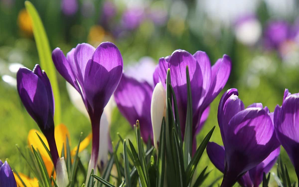 Krokussen voorjaar