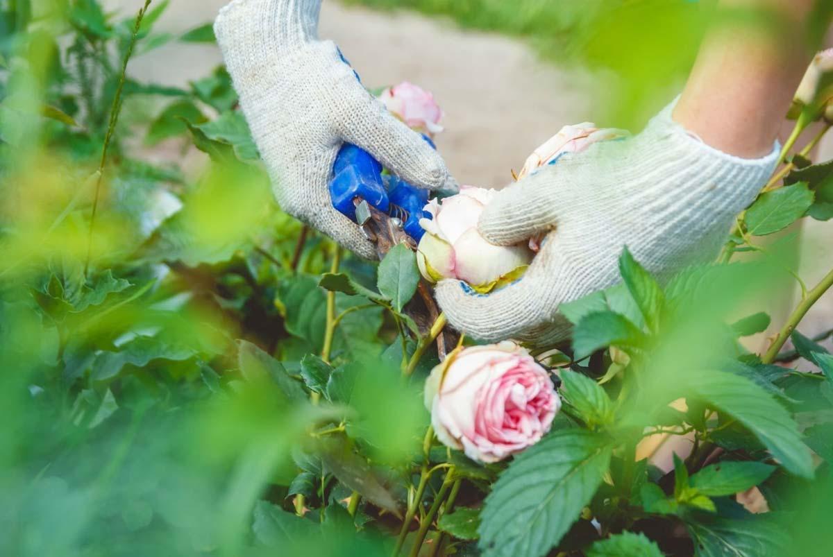 De groot hoveniers tuintips onderhoud tuin rozen snoeien for Tuin snoeien
