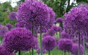 Kleurrijke bloembol Allium