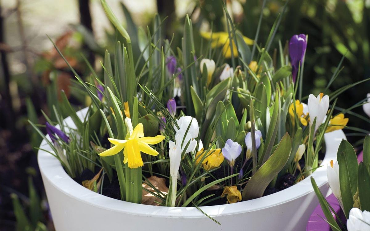 Bloembollen planten in een pot
