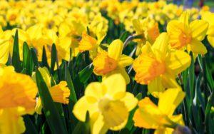 Narcissen bloembollen