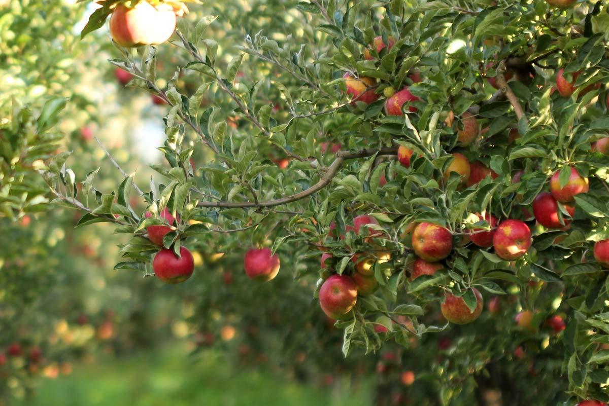 Fruitbomen snoeien appelboom