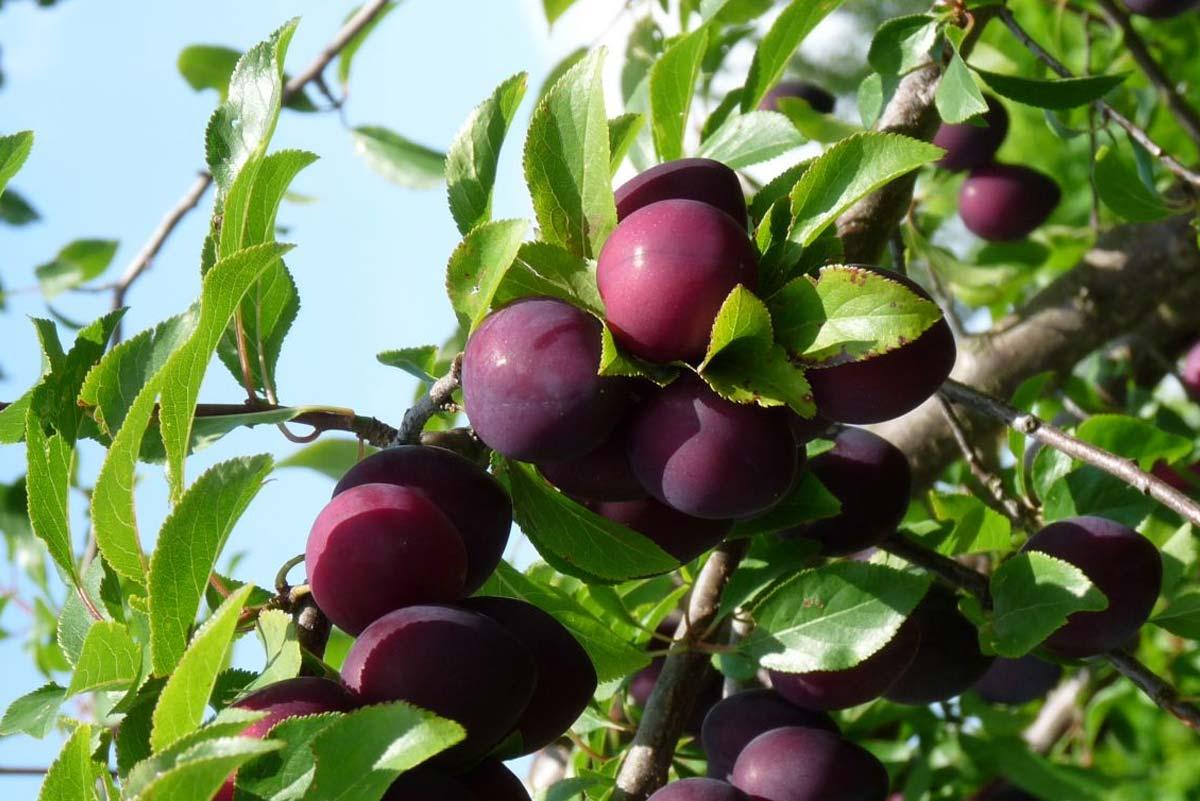 Fruitbomen snoeien pruimenboom
